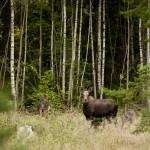 Fru Moose med kalv