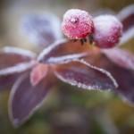 Frostiga Hönsbär
