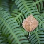 Löv på Kambräken