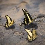 En gul-svart