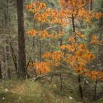 Ek som inte vill tappa löven