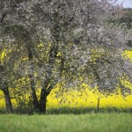 Blommande vildapel
